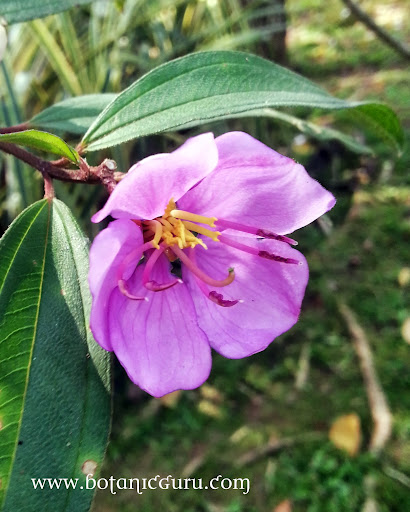 Melastoma malabathricum flower