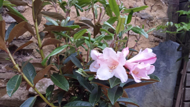 Rhododendron - espèces, variétés, floraisons - Page 5 20150508_200544