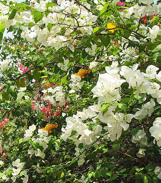 White Bougainvillaea plant close-up