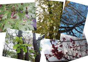 A maple tree changes with the seasons.