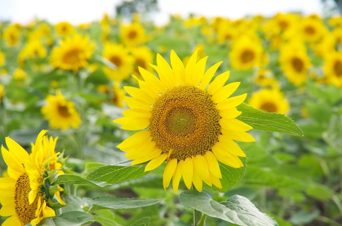黄金比に輝く向日葵