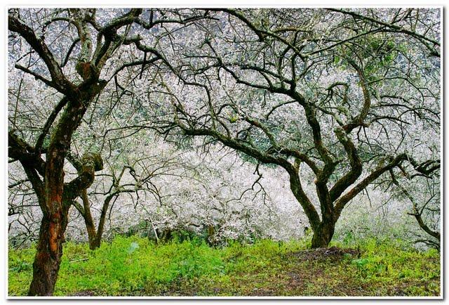 柳家梅園-梅樹奇林