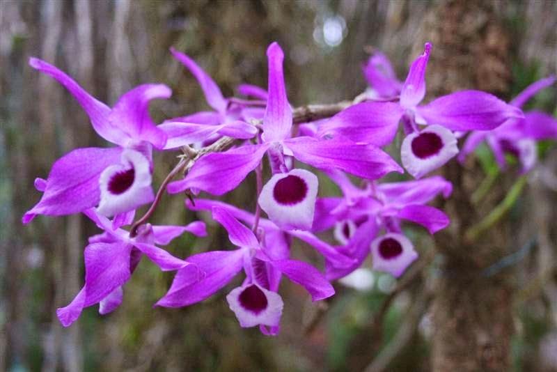 Hoàng Thảo Kèn sai hoa, thường nở nhiều hoa dọc suốt theo thân