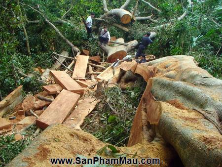 Phát hiện 9 điểm cất giấu gỗ quý trong rừng Bà Nà - Núi Chúa - Xưởng sản xuất đồ gỗ-2