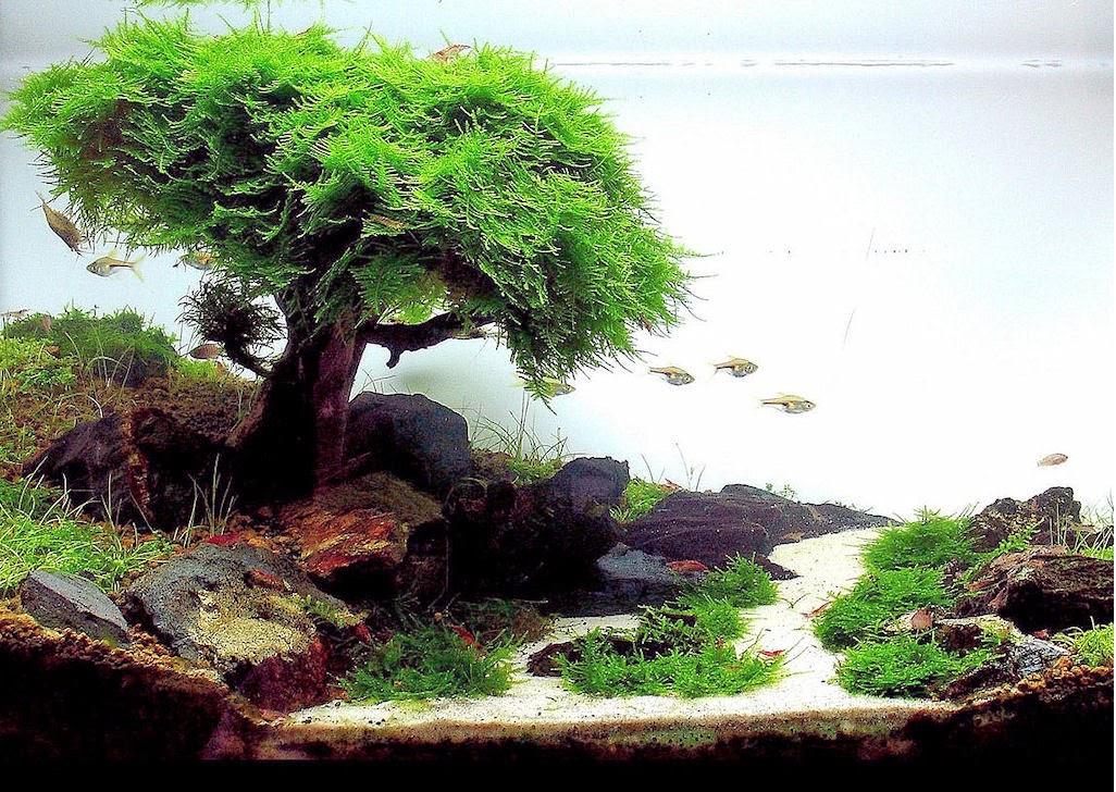Bộ sưu tập hồ thủy sinh bon sai cấy rêu