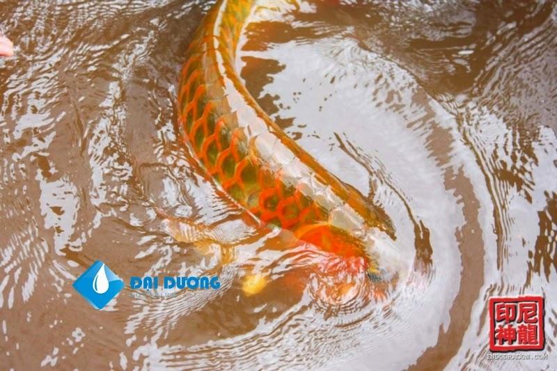 chất lượng cá rồng