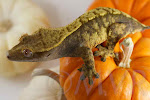 Lavendar harlequin female crested gecko from moonvalleyreptiles.com