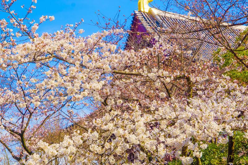 増上寺 桜 写真 13