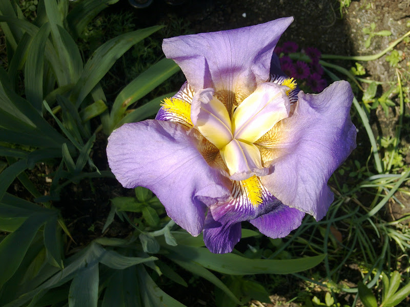 Iris in bloei