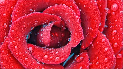 Delicate Dewy Rose.jpg