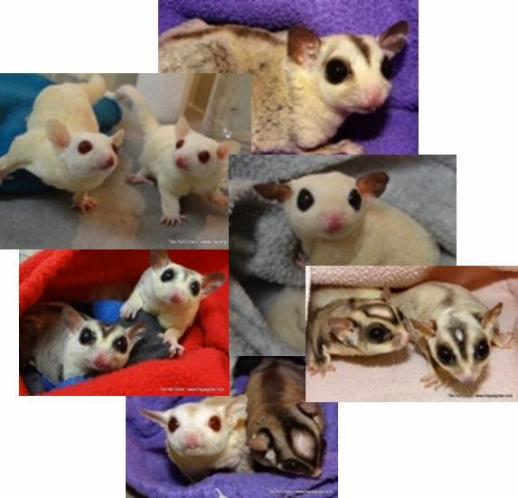 Rockin Retiree Sugar Gliders