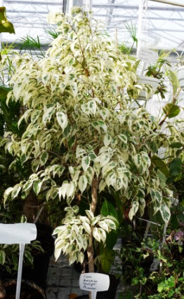 Figowiec benjamiński 'Starlight' Ficus benjamina 'Starlight'