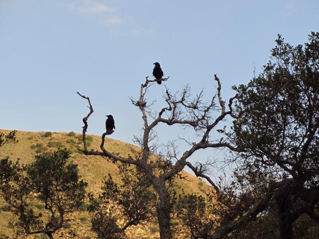 big black birds
