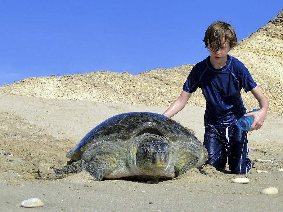 Theo Sheen (10) helps a dehydrated turtle back to the Indian Ocean.