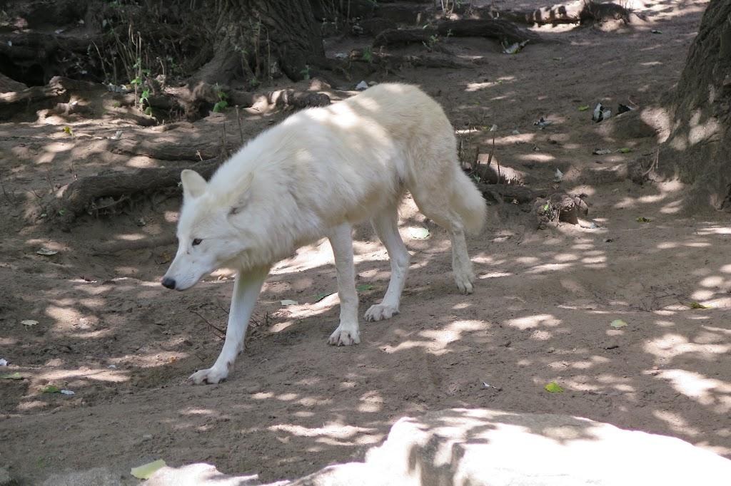 Weiße Wölfe gibt es selten in Zoos zu sehen