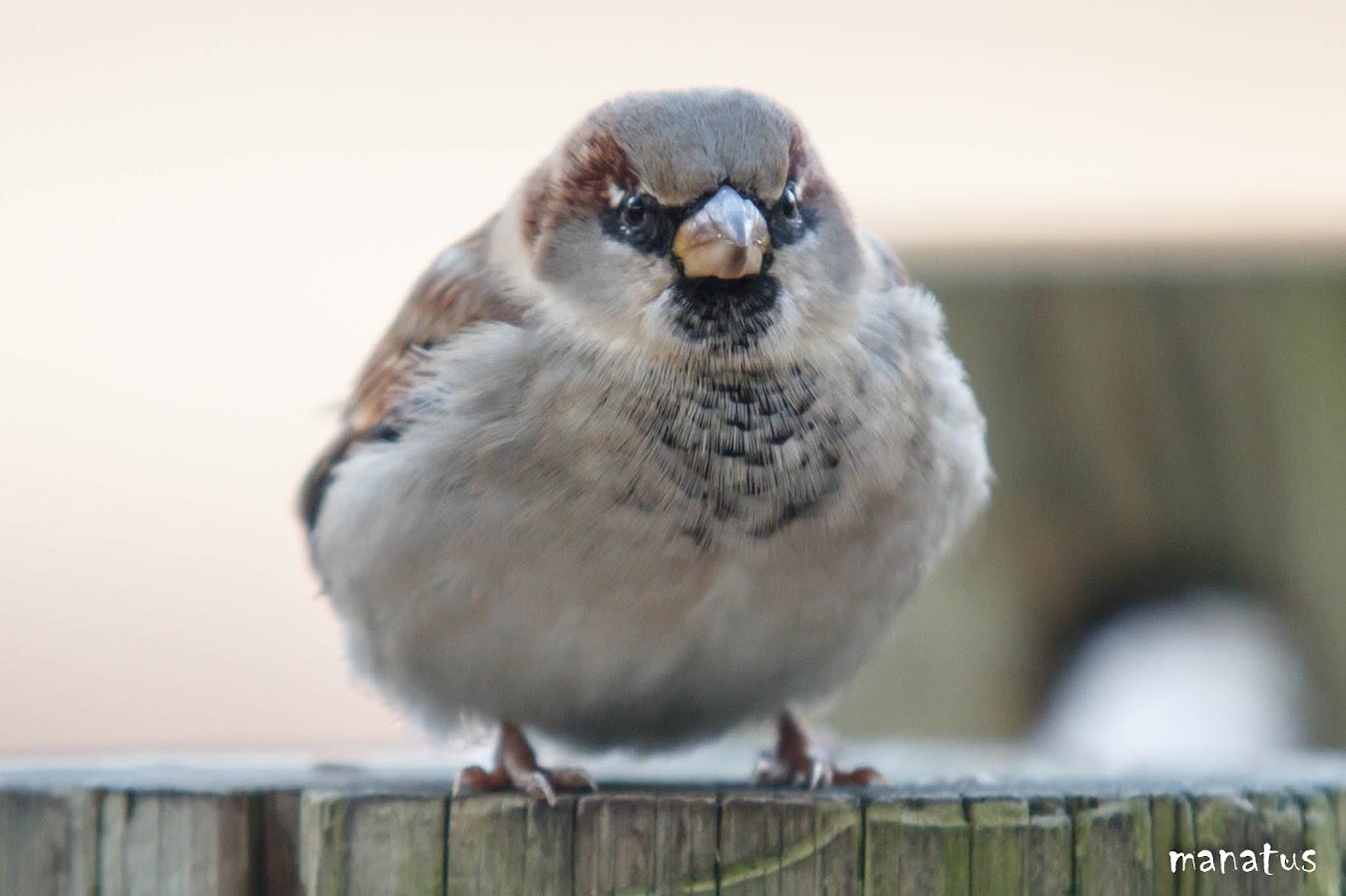 manatus angry bird