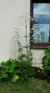 Kozłek lekarski Valeriana officinalis