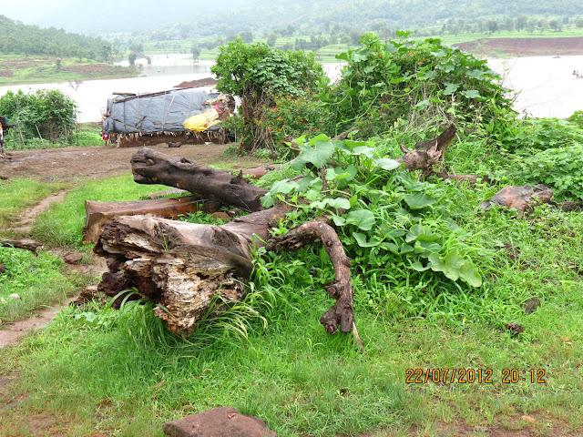 आजूबाजूला भरपूर सागाची झाडं आहेत. एका घरासमोर पडलेला हा साग. किंमत अंदाजे दोन लाख रूपये!