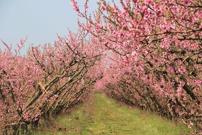 blossom dans j'adore IMG_1291