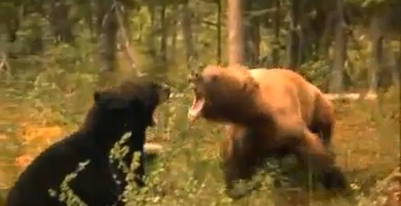 Urso pardo vs Urso polar - Página 2 B50267876643aca16d982460ad663765b8758160_r