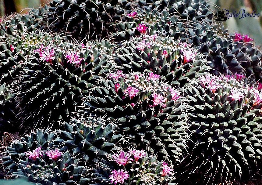 cactus flori roz gradina botanica bucuresti
