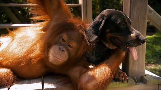 Unlikely Friends: Orangutan and Dog