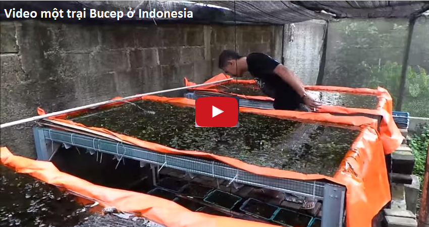 Click để xem video một trại thủy sinh Bucep ở Indonesia