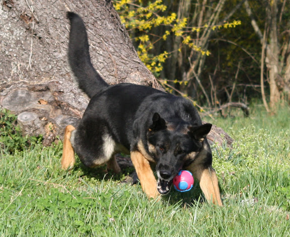 Jubilee, a black and tan German Shepherd, lunges and misses at a pink and blue orbee ball, which appears to hover in the air just to the right of her gaping mout