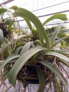 Hoa lan Ngọc Điểm - Nghinh Xuân - Đai Châu rừng trồng thuần tại vườn - 1