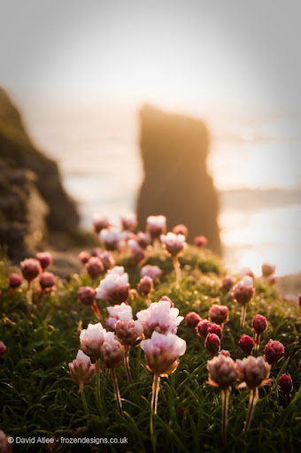 Thrift wild flowers against a rock coastal scape