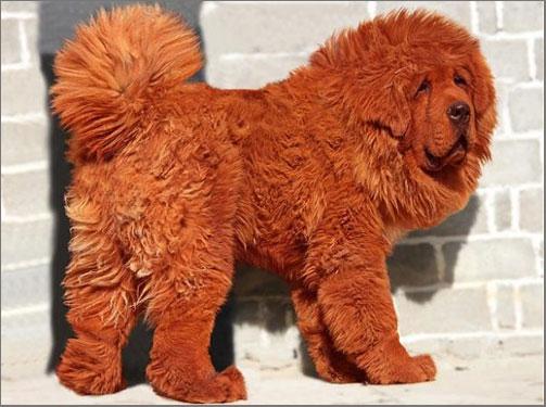 """Hong Dong """"El Perro más caro del mundo"""""""