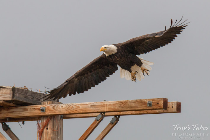 Bald Eagle takes flight sequence. 2 of 7.