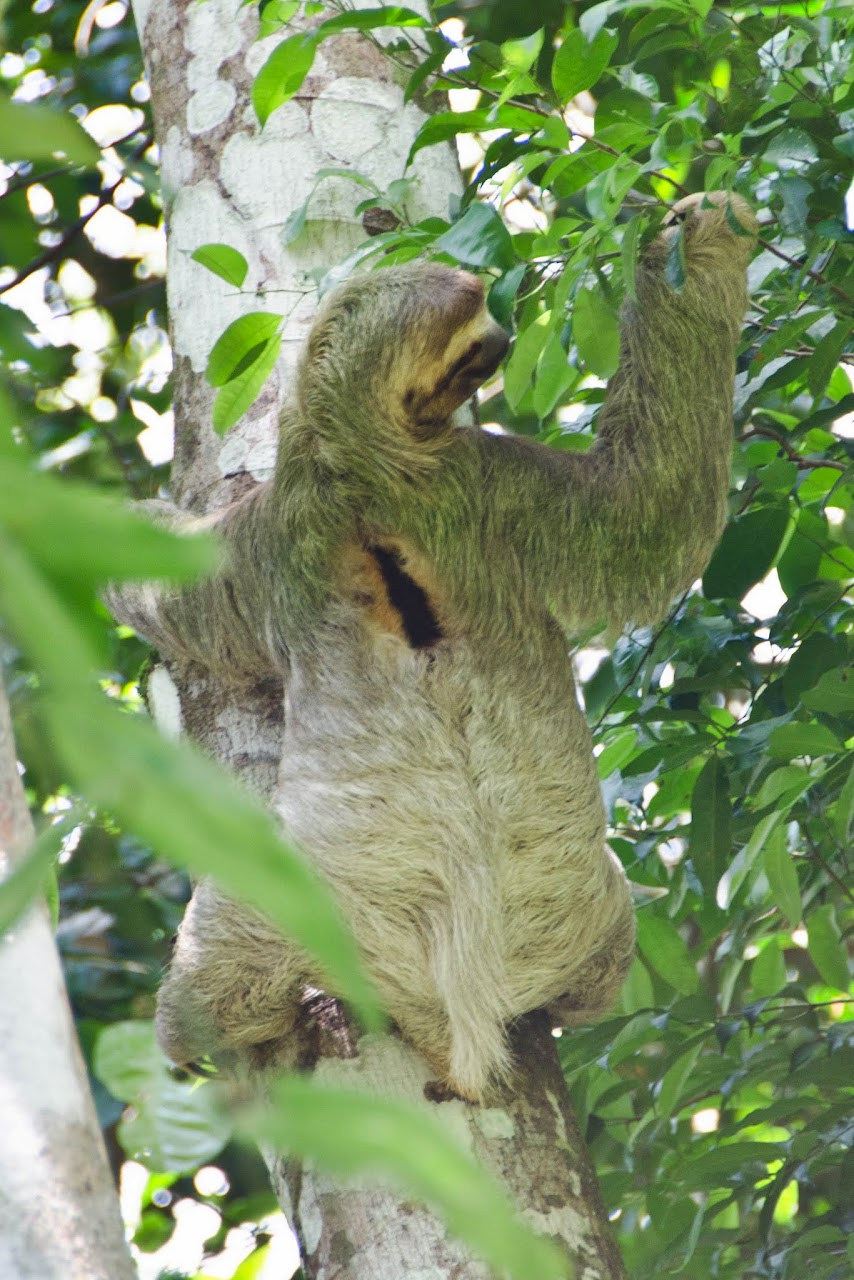 Sloth at Manuel Antonio