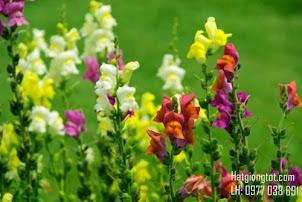 Hạt giống hoa Hoàng Ngư