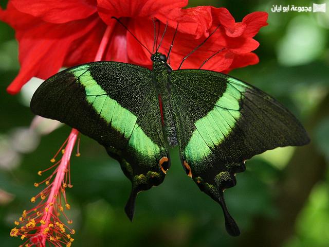 اجمل ملكة جمال الحشرات ؟؟؟؟ D%2520%25288%2529