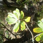 Banksia Leaf (16780)