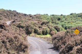 Roadsides treated with herbicides, gorse don't care.