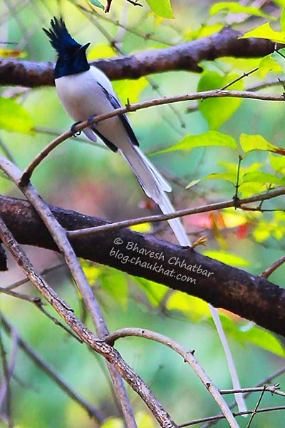 Asian Paradise Flycatcher with its long tail
