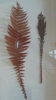 Pióropusznik strusi Matteucia struthiopteris