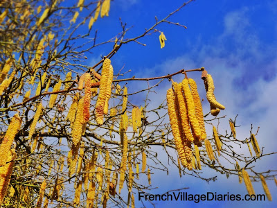 french village diaries january orchard hazelnut catkins france