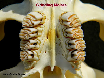 Grinding molars
