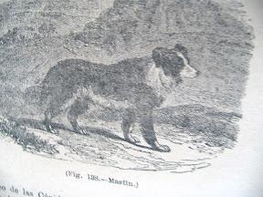 Ilustración de un Mastín.