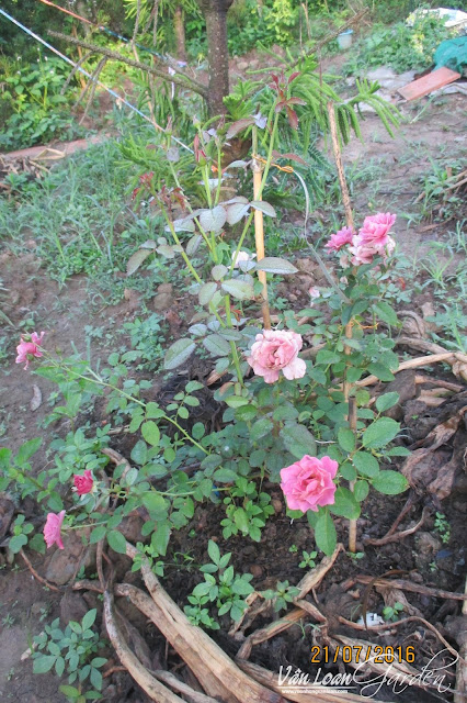 Thời gian đầu khi trồng hồng Aoi, cây nở hoa rất ít