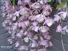 天宮石斛蘭(瀑布蘭)Dendrobium aphyllum