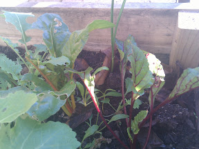 Three small chard plants, surrounded by other greens