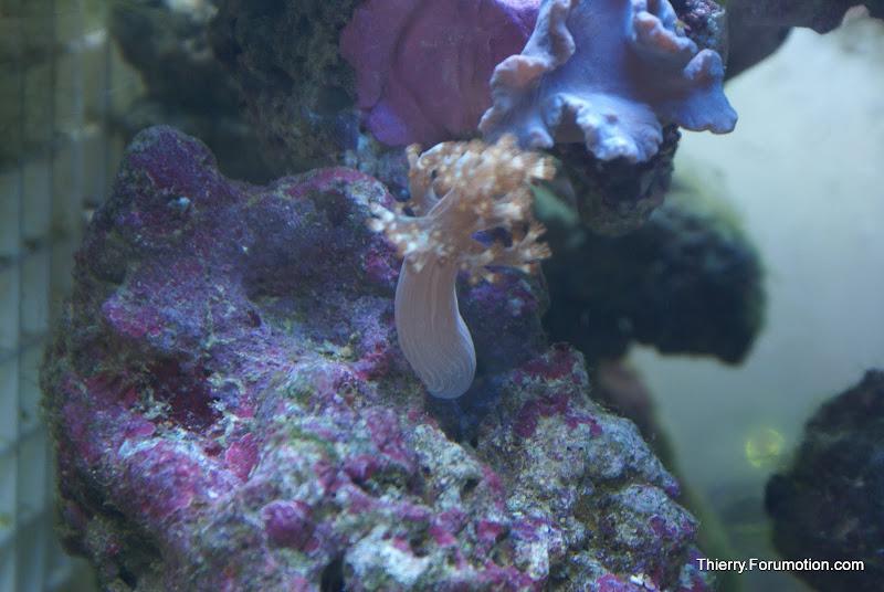 Capnella imbricata (Kenya Tree Coral) DSC04908