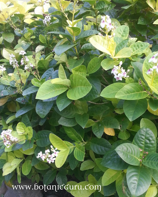 Pseuderanthemum carruthersii var. reticulatum, Yellow-vein Pseuderanthemum, Eldorado bush