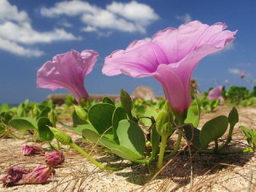 Ảnh hoa muống biển và bầu trời