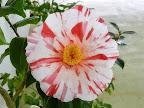 白色地 濃紅色縦〜小絞り 八重咲き 筒しべ 大輪
