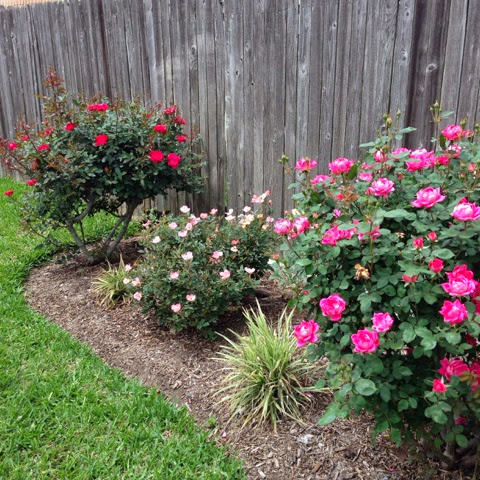 pink knockout rose